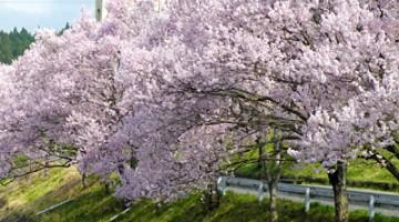 来年も桜を見るために、まっすぐ突き進んでいきたいです