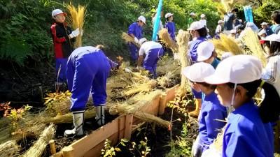 植樹地は、土が流れないよう仕切り板を設置しているため、2段に分かれています。苗木を植えた後のワラ敷きは、「下段から上段へ」流れ作業で行いました