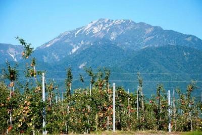 実際に私が作業したリンゴ畑。木が細身でも沢山のリンゴがついています