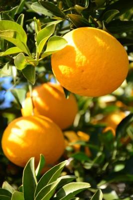気候に恵まれた瀬戸田町は、柑橘類の産地として有名です