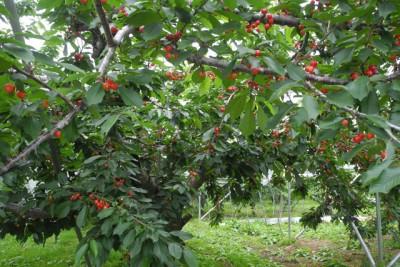 青森県南部町 さくらんぼ農園訪問