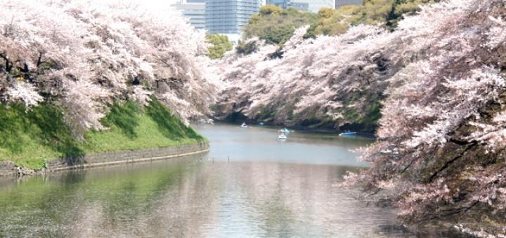 東京の桜の写真