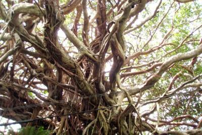 奄美諸島のガジュマルの写真