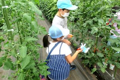 栽培されているミニトマトの収穫体験