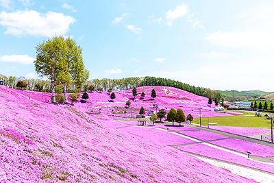 ピンクのじゅうたんのように咲く芝桜